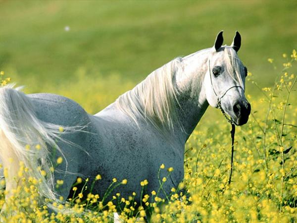 Caballo árabe blanco
